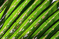 Beautiful details and intricate patterns in a palm leaf.