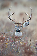 Whitetail Buck poses in St. John's Wort, Western Montana