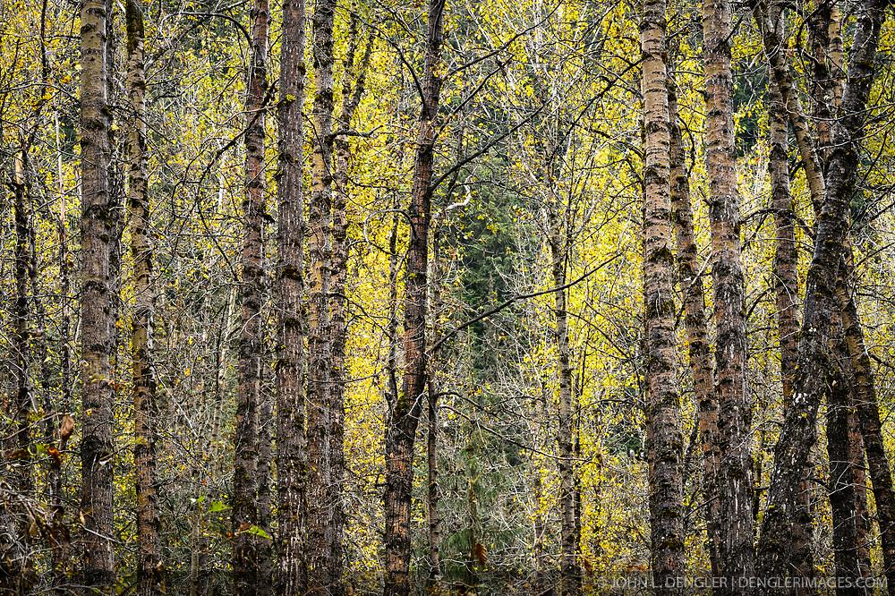 Aspen trees show off their fall colors along Herman Creek near Haines, Alaska.