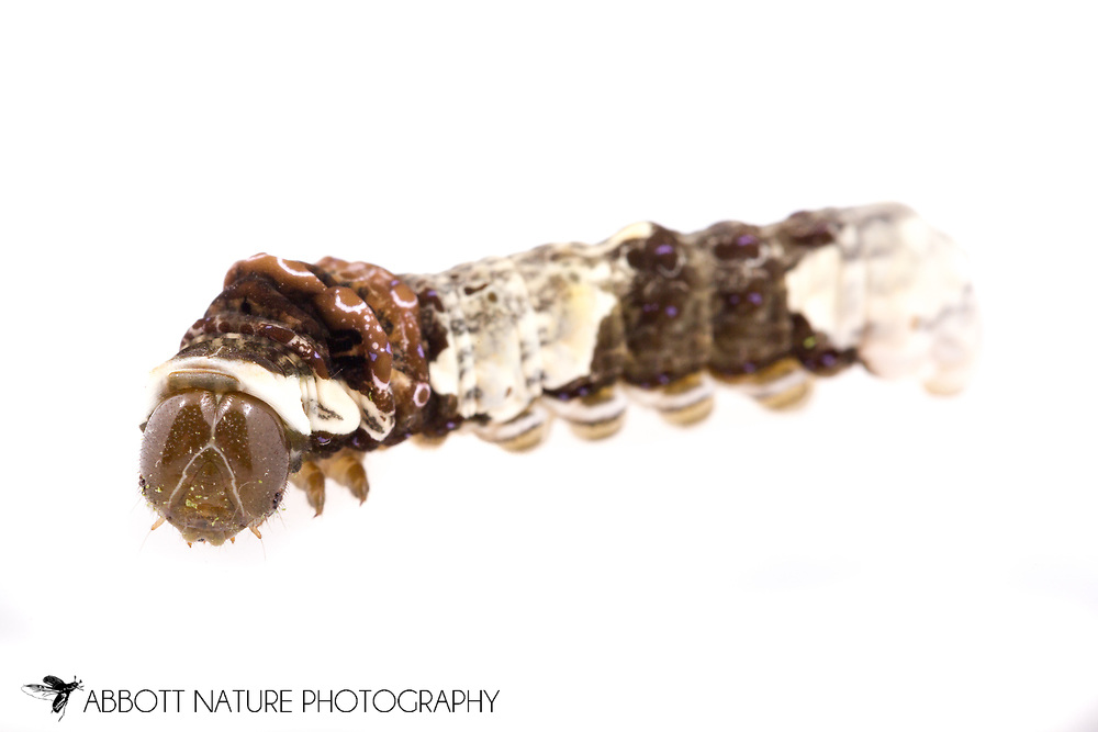 Giant Swallowtail (Papilio cresphontes) caterpillar<br /> TEXAS: Travis Co.<br /> Austin<br /> 15-May-2015<br /> K.K. Abbott
