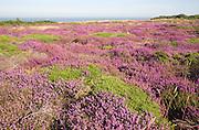 Pink blossom heather plants, Calluna vulgaris,  cliff top North Sea coast, Dunwich Heath, Suffolk, England, UK