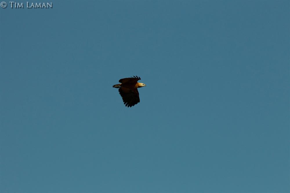 A Black-collard Hawk (Busarellus nigricollis) flying though a clear blue sky.