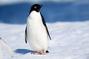 An Adélie penguin (Pygoscelis adeliae) stands on ice near Esperanza Station on Thursday 15 February 2018.