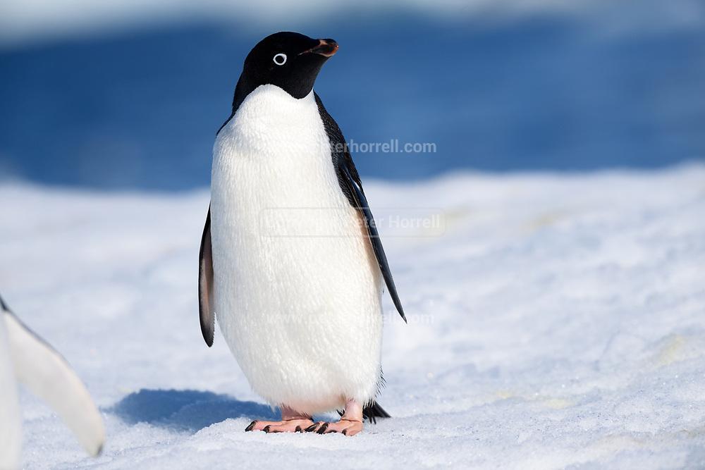 An Adélie penguin (Pygoscelis adeliae) stands on ice near Esperanza Station on Thursday 15 February 2018.