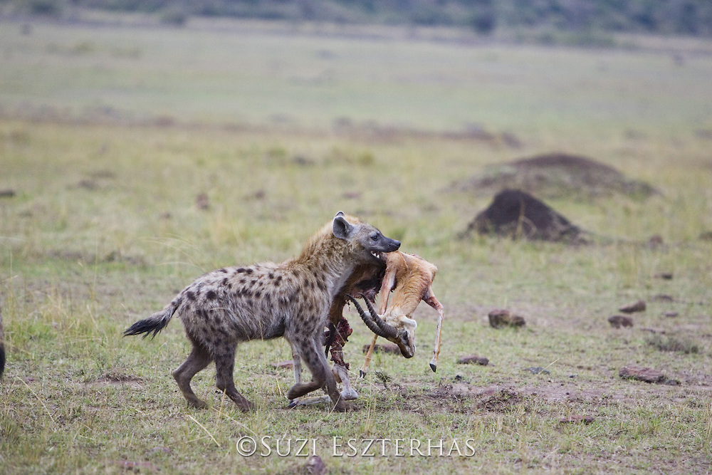 Spotted Hyena<br /> Crocuta crocuta<br /> Carrying Thomson's gazelle<br /> Masai Mara Conservancy, Kenya