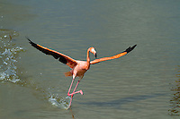 Flamingo in the Galapagos Islands, Ecuador.