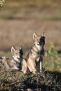 Wolf, Canis lupus, pups rest on autumn tundra, Grant Creek pack, vertical, Denali National Park, Alaska, wild