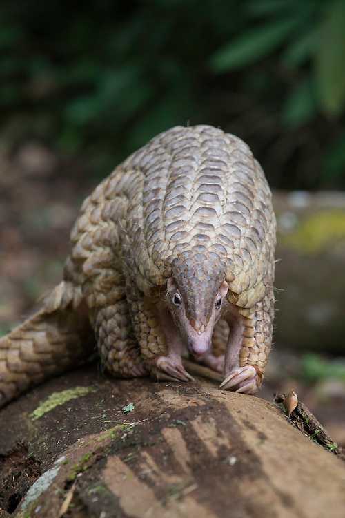Sunda pangolin<br /> Manis javanica<br /> Singapore Night Safari, Singapore<br /> *Captive
