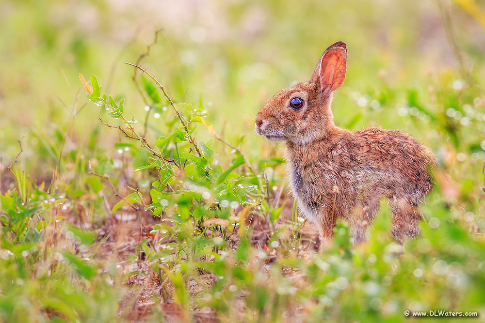 Morning light on a cottontail rabbit in the dunes of the Outer Banks.