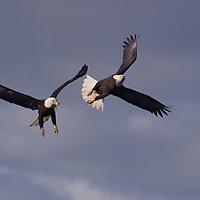 Two Bald Eagles battle in the skies over Homer, Alaska.