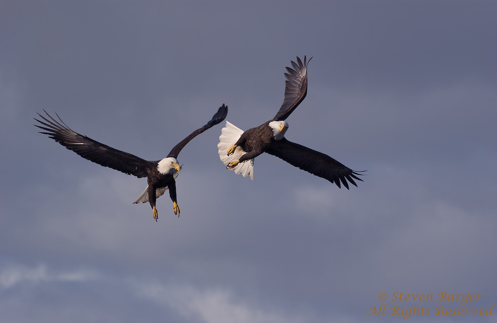 Two Bald Eagles battle in the skies over Homer, Alaska.