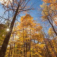 Golden leaved trees of fall