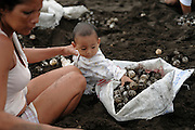 The community of Ostional, Pacific coast of Costa Rica, runs a project of sustainable use of the olive ridley sea turtles (Lepidochelys olivacea). The eggs, a popular snack in Costa Rica, are harvested during the first days of a large arribada, and bagged for legal and controlled sale throughout the country. A large arribada event may include hundreds of thousands of female olive ridleys. As many nests of the early nesters are destroyed by the following turtles it seems possible to take the early eggs without influencing the future population of this species, listed as vulnerable in the IUCN red list. However, the project at Ostional is a very complex activity influencing in many ways the likewise complex and not fully studied ecology of a sea turtle.  The olive ridley may be less secure as it superficially appears to be when witnessing the high numbers of nesting females at Ostional. Measured by the numbers of nests laid this beach is the most important nesting area for this species in the world. | In einem weltweit wohl einzigartigen Projekt wird versucht, die Bedürfnisse der lokalen Bevölkerung in einer armen Region mit den notwendigen Maßnahmen zum Schutz einer gefährdeten Meeresschildkrötenart sinnvoll und nachhaltig zu verbinden.