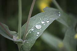 April 4, 2017 - Anantnag, Jammu and Kashmir, India - Rain drops on leaves as Heavy rains lashed the Kashmir Valley on Wenesday. (Credit Image: © Muneeb Ul Islam/Pacific Press via ZUMA Wire)