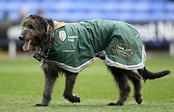 The London Irish dog mascot - Photo mandatory by-line: Robbie Stephenson/JMP - Mobile: 07966 386802 - 05/04/2015 - SPORT - Rugby - Reading - Madejski Stadium - London Irish v Edinburgh Rugby - European Rugby Challenge Cup