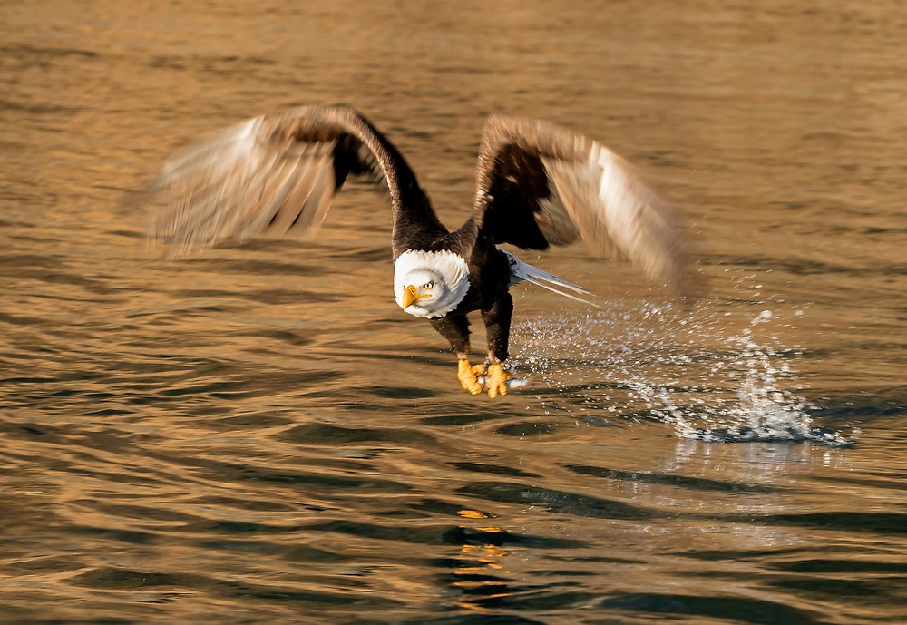 Alaska. Bald Eagle (Haliaeetus leucocephalus) snatching a fish from the waters of Kachemak Bay, with its wings in motion-blur.
