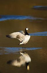 Barnacle Goose (Branta leucopsis) in Svalbard