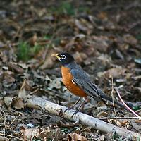 Robin redbreast on the woodland floor