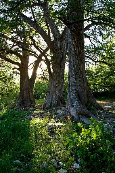 Stock photo of Cypress trees along the Frio River in the Texas Hill Country