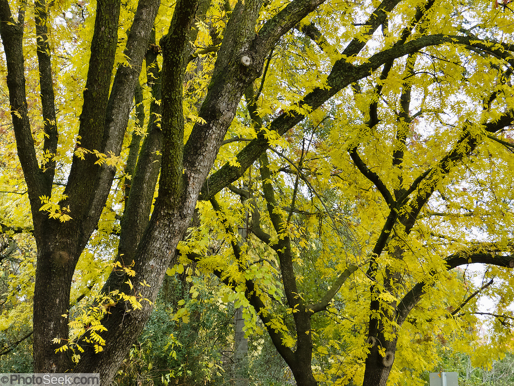 "Pistachio tree leaves turn bright yellow in fall on the Chico State campus. California State University, Chico (CSUC) is the second-oldest campus (1887) in the state's 23-campus system. The university is still commonly called ""Chico State"" after the 1935-1972 Chico State College and 1921-1935 Chico State Teacher's College. Chico State teaches nearly 16,000 students and is known for academic excellence in engineering, science, computing, business, technology, environmental studies, Theatre Arts, and communication."