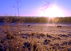 © Licensed to London News Pictures. 02/12/2012. Richmond, UK Deer stand on a frosty meadow. Deer, joggers and dog walkers wake up to a golden frosty morning in Richmond Park, Surrey, today 2nd December 2012. Photo credit : Stephen Simpson/LNP