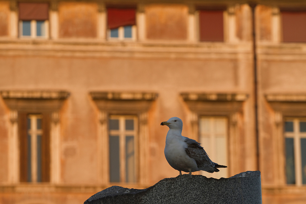 A seagull observes the city of Rome from a tower at the Roman Forum...The Roman Forum (Latin: Forum Romanum, Italian: Foro Romano) is a rectangular forum (plaza) surrounded by the ruins of several important ancient government buildings at the center of the city of Rome.