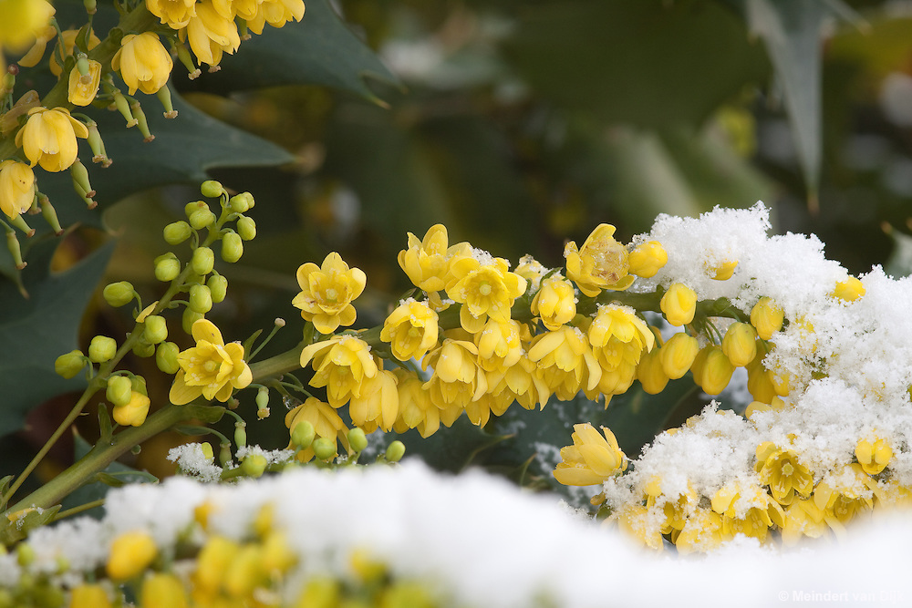 Deels met sneeuw bedekte bloeiende mahonia. Partly snow-covered flowering Mahonia.