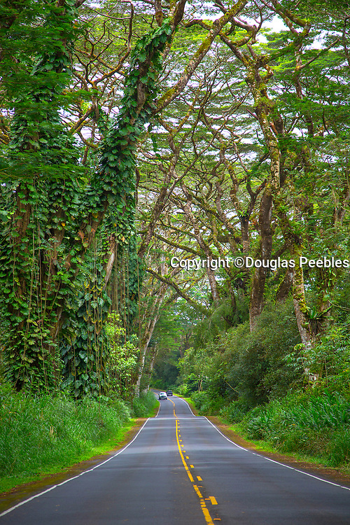 Tree Tunnell, Pahoa-Kapoho Rd., Puna, Big Island of Hawaii