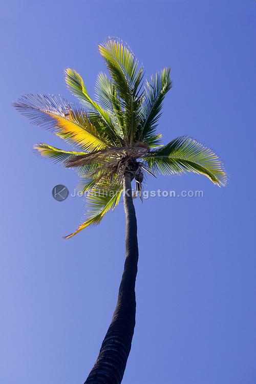 MOLOKAI, HI - A lone palm tree against the blue sky of the Pacific Island of Molokai, Hawaii. This tree is part of a palm grove that at one time was home to 1000 palms and one of the largest groves in the Pacific islands of Hawaii.
