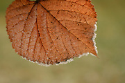 A orange leaf covered in frost. PLEASE CONTACT US FOR DIGITAL DOWNLOAD AND PRICING.