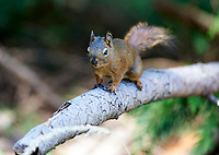 Red Squirrel (Tamiasciurus hudsonicus),  on tree branch Gabriola , British Columbia, Canada