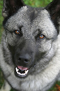 Norwegian Elkhound is one of the ancient Northern spitz-type breed of dog. The National Dog of Norway. Used for hunting moose (elk). Norsk elghund grå.
