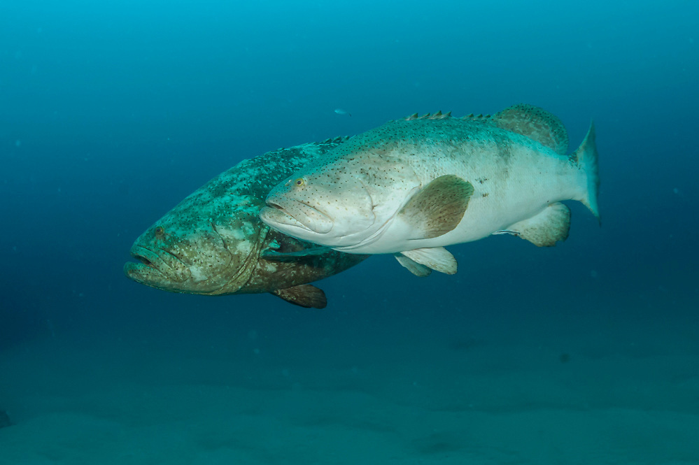 Most likely a pair (male / female) of Goliath Groupers, Epinephelus itajara, near the Mispah shipwreck offshore Singer Island, Florida, United States during the spawning season in August 2014. Fish with spawning coloration.