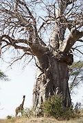 Tanzania wildlife safari a giraffe by a Baobab tree