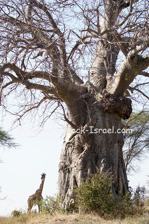 Tanzania wildlife safari a giraffe by a Baobab tree