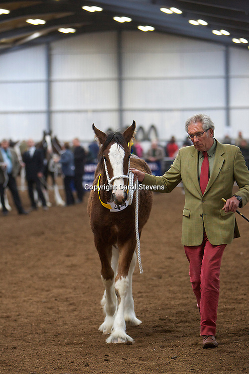 North West and Wales Shire Foal Society <br /> Show 2012<br /> Mr A King's Cotebrook Ben More   <br /> f 2012<br /> Sire   Acle Major<br /> Dam   Cotebrook Charies Spirit