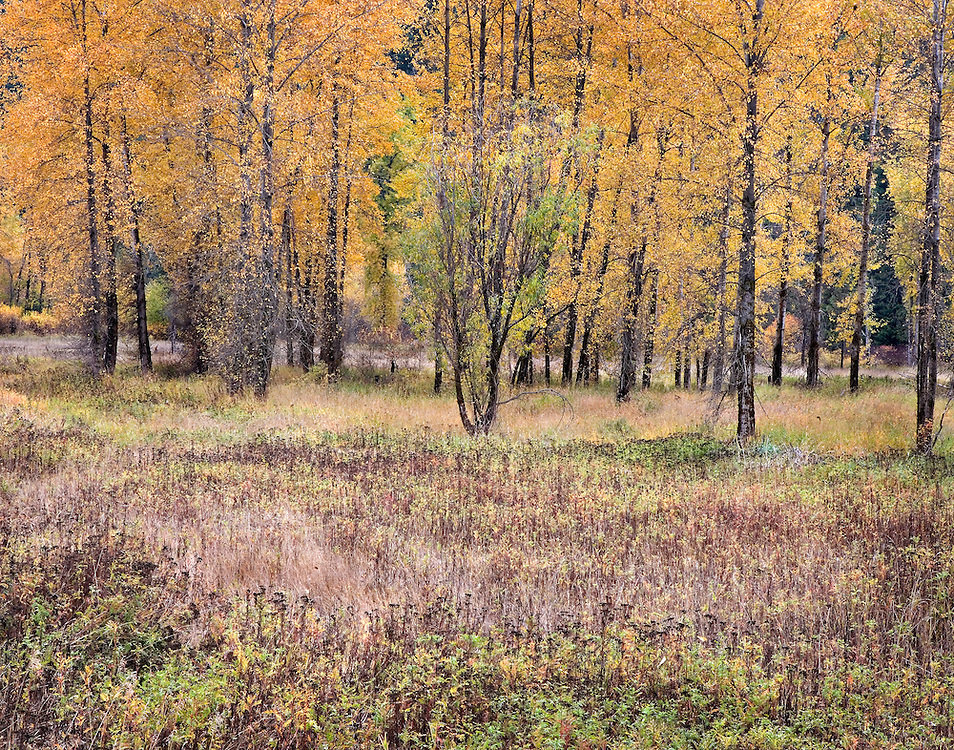 brilliant autumn colors in meadow, North Idaho