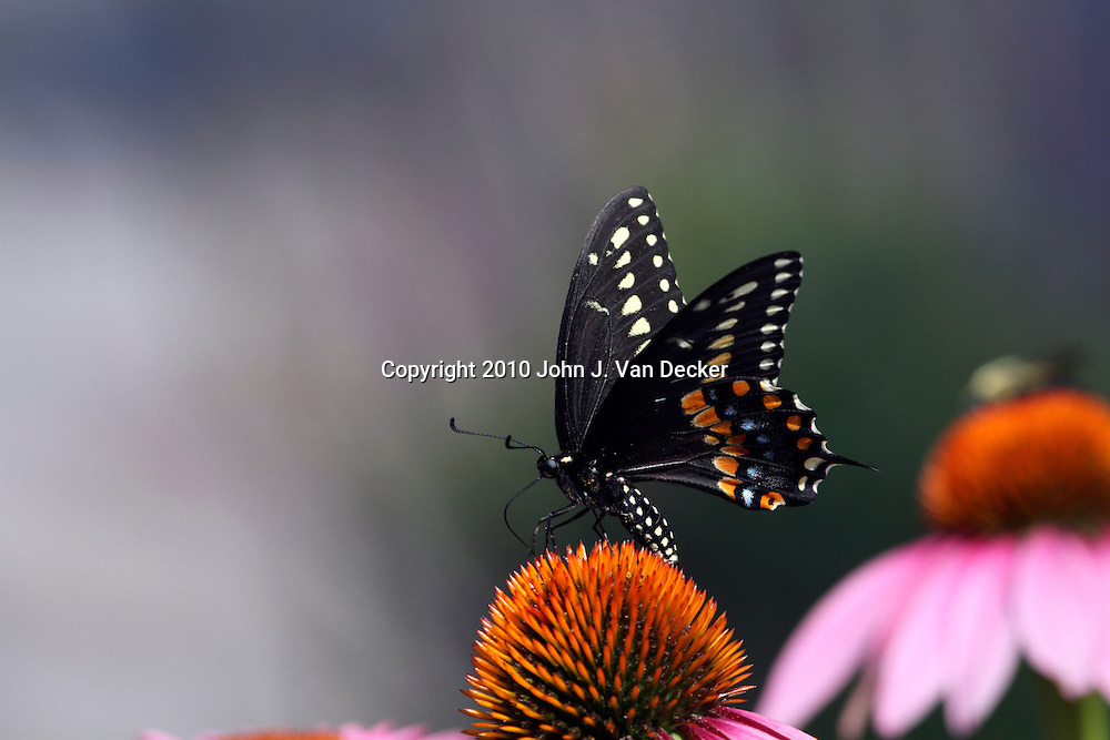 Black Swallowtail Butterfly, Papilio polyxenes, feeding on a Purple Coneflower, Echinacea purpurea. New Jersey, USA, North America