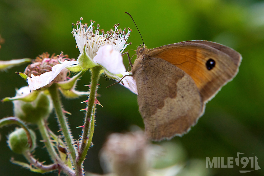 A beautiful butterfly on a blackberry plant in Cornwall.