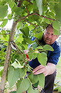 Tony kirkham pruning  / crown lifting Tilia chinensis (probably grafted onto Tilia cordata)