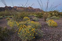 Brittlebush (Encelia farinosa) and Ocotillo (Fouquieria splendens), Organ Pipe Cactus National Monument Arizona