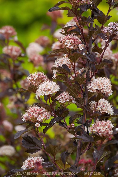Coppertina Ninebark (Physocarpus opulifolius 'Coppertina' syn. Physocarpus opulifolius 'Mindia').