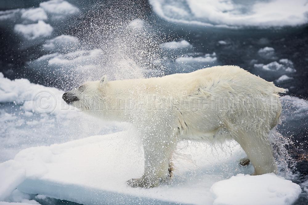 This Polar Bear have just entered a ice floe, and was saking wet. Captured nort of Spitsbergen at 82.4 | Denne isbjørnen har akkurat komt opp på isflaket, fra sjøen, og rister av seg vannet. Bildet er tatt nord om Svalbard ved 82.4 grader.