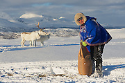 TROMSO, NORWAY - MARCH 28, 2011: Unidentified Saami man brings food to reindeers in deep snow winter, Tromso region, Northern Norway.