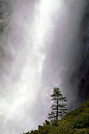 A Conifer tree in front of Yosemite Falls.