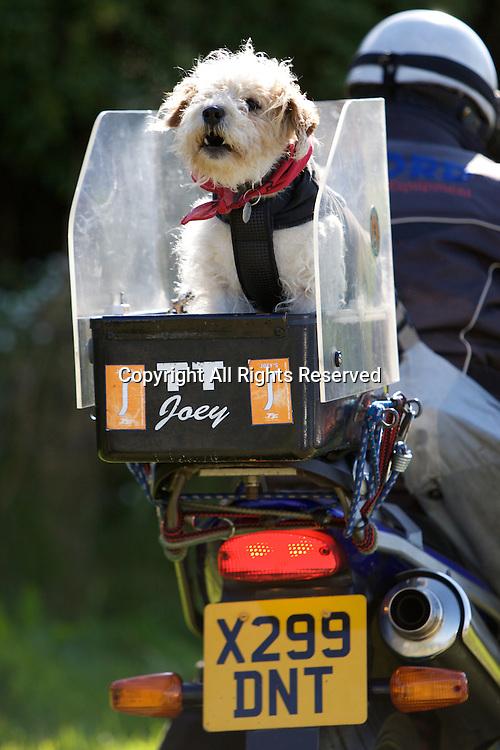 08.06.2015. Douglas, Isle of Man. 2015 Isle of Man TT Races. A dog spectator.