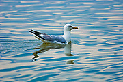 Ring-billed gull (Larus delawarensis) on Mindemoya Lake<br />