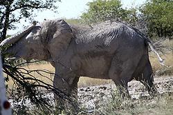 NAMIBIA ETOSHA 28APR14 - An elephant bull enjoys a mud bath near Okaukuejo, Etosha National Park, Namibia.<br /> <br /> The African bush elephant is the largest living terrestrial animal,<br /> <br />  but mineral deficiencies mean that they have very short tusks.<br /> <br /> jre/Photo by Jiri Rezac<br /> <br /> <br /> <br /> © Jiri Rezac 2014