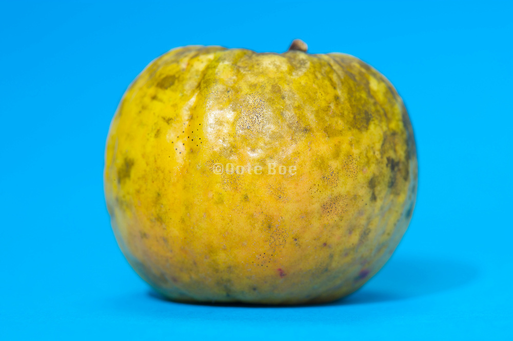 a wild grown apple against a bright blue background
