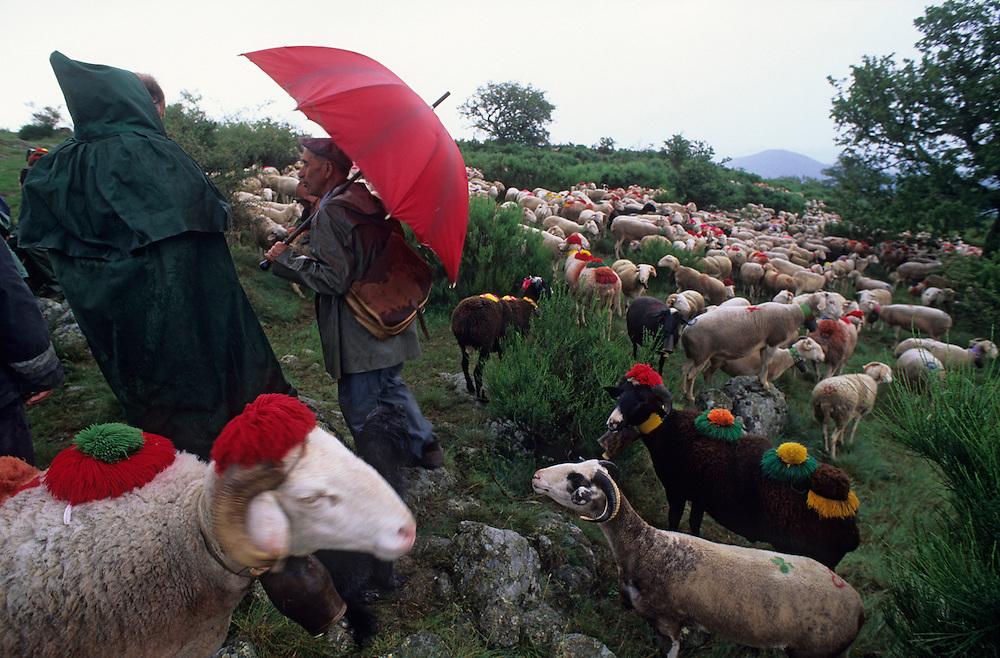 France, Languedoc Roussillon, Gard, Lozère, Cévennes, Massif de l'Aigoual, transhumance des moutons